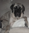 Giant Maso Mastiff, 8 Months, Fawn